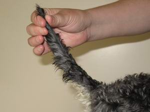 Picture of ungroomed tail